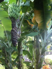 Bananas outside our room!
